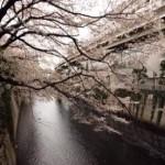 文京区でオススメの人気お花見スポットは?2015年の「文京さくら祭り」の日程は?